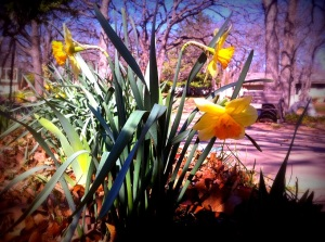Daffodils1 3-13